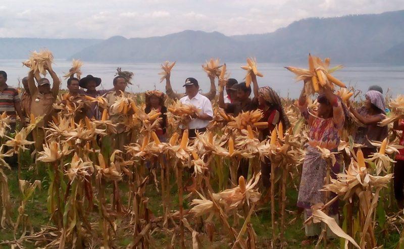 Panen Raya Jagung Di Desa Pasaran Parsaoran Kecamatan Nainggolan Dengan Hasil Memuaskan